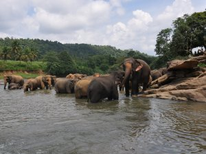 Elephants at Sri Lanka